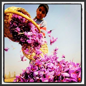 Persian Saffron as valuable as gold Persian Tradition wine